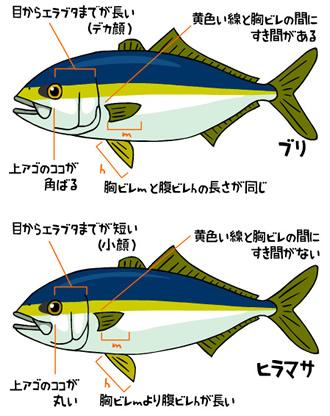 ブリの画像 p1_33